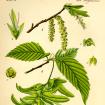 Habr obecný (Carpinus betulus), někdy také Habrzettl, je statný jednodomý listnatý strom dorůstající výšky asi 25 m.