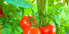 Jak připravit půdu pro pěstování rajčat