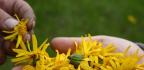 Arnika (Arnica montana) – výjimečná léčivá bylinanatupá poranění, klouby, otoky nebo revmatizmus