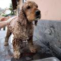 Suchá koupel pro psy