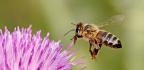 Včelí smetenec