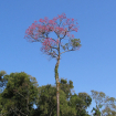 Strom Lapcho (Tabebuia avellanedae, Tabebuia impetiginosa) v rezervaci San Rafael Reserve, ve státě Paraguay. Zdroj Wikimedia, autor: Ilosuna.
