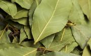 Je bobkový list jedovatý?