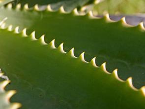 Domácí výroba pleťového krému z Aloe vera