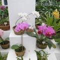 Správný nákup orchideje