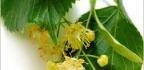 Lipový květ