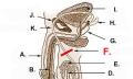 Vasektomie