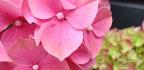 Pěstování hortenzie