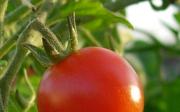 Jak pěstovat ahnojit rajčata
