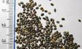Chia semínka – hubnoucí zázrak