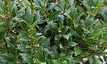 Očistná kúra zbobkového listu