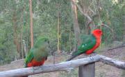 Papoušek královský