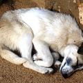 Uspání psa