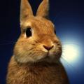 Zakrslý králík - délka života