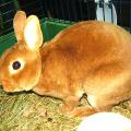 Ukázkové druhy krátkosrstých králíků