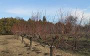Řez ovocných stromů